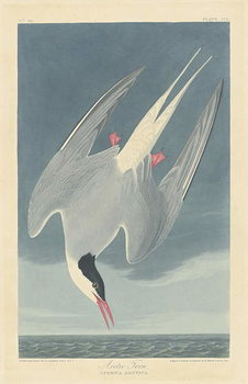 Konsttryck  Arctic Tern, 1835