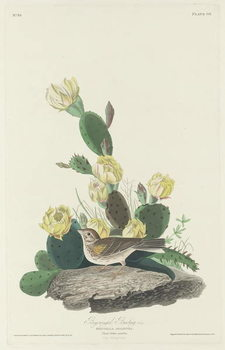 Konsttryck  Bay-winged Bunting, 1830