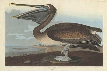 Konsttryck  Brown Pelican, 1838