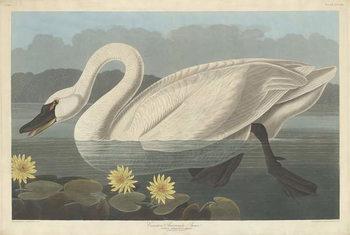 Konsttryck  Common American Swan, 1838