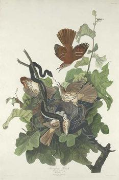 Konsttryck  Ferruginous Thrush, 1831