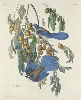 Konsttryck  Florida Jays, 1830