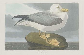 Konsttryck  Fulmer Petrel, 1835