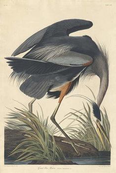 Konsttryck  Great blue Heron, 1834