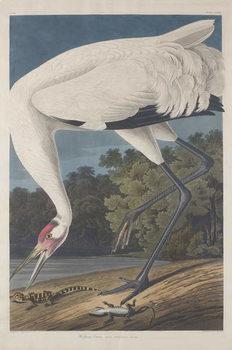 Konsttryck  Hooping Crane, 1834