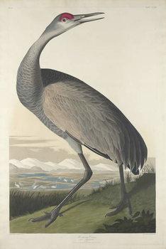 Konsttryck  Hooping Crane, 1835