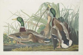Konsttryck  Mallard Duck, 1834