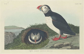 Konsttryck  Puffin, 1834