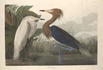 Konsttryck  Purple Heron, 1835