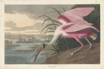 Konsttryck  Roseate Spoonbill, 1836