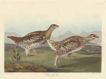 Konsttryck  Sharp-tailed Grous, 1837