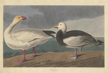 Konsttryck  Snow goose, 1837