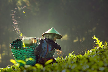 Exklusiva konstfoton tea pickers