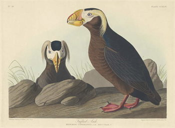 Konsttryck  Tufted Auk, 1835