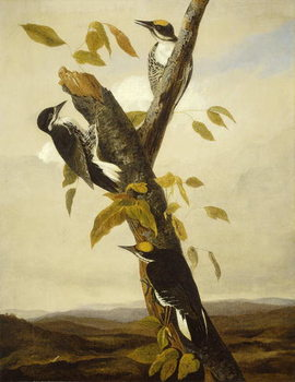 Black-Backed Three-Toed Woodpecker, 1831-3 Festmény reprodukció