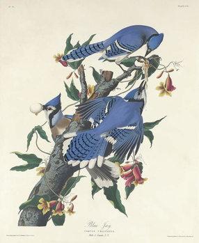 Blue Jay, 1831 Festmény reprodukció