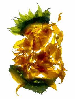 Chiquita Sunflower Festmény reprodukció
