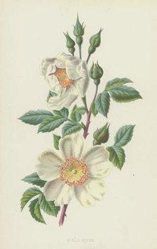 Field Rose Festmény reprodukció