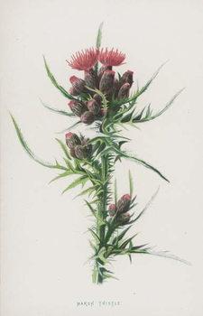 Marsh Thistle Festmény reprodukció