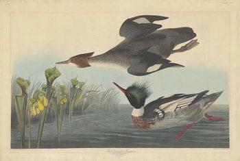 Red-breasted Merganser, 1838 Festmény reprodukció