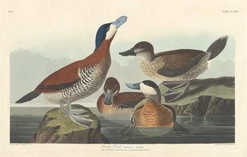 Ruddy duck, 1836 Festmény reprodukció