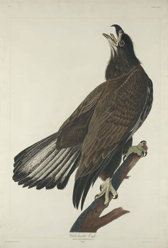 White-Headed Eagle, 1832 Festmény reprodukció