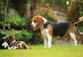 Beagle Dog Fotobehang