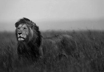 Black And White Lion Fotobehang