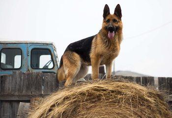 German Shepherd Dog Fotobehang