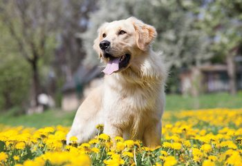 Golden Retriever Dog Fotobehang