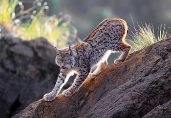 Lynx At Sunset Fotobehang