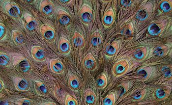 Peacock Feathers Fotobehang