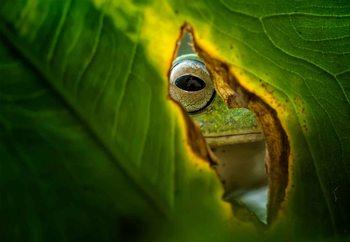 Peeking Frog Fotobehang