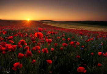 Sunrise Between Poppies Fotobehang