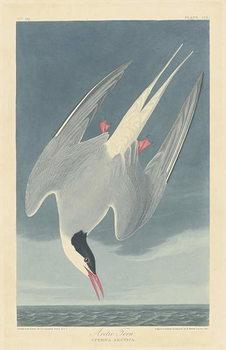 Reprodukcja Arctic Tern, 1835