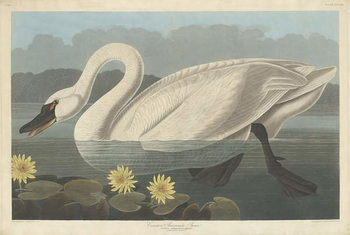 Reprodukcja Common American Swan, 1838