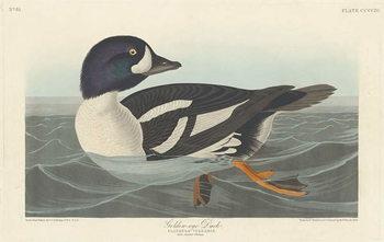 Reprodukcja Golden-eye Duck, 1836