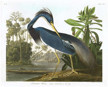 Reprodukcja Louisiana Heron, 1834