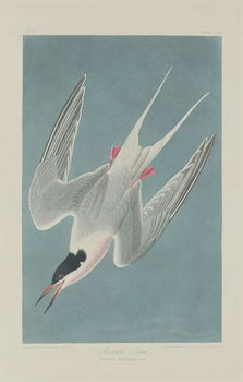 Reprodukcja Roseate Tern, 1835