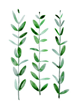 Ilustracja Watercolor eucalyptus parvifolia