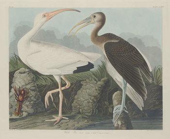 Reprodukcja White Ibis, 1834