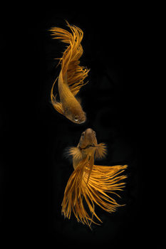 Fotografia artystyczna Love Story of the Golden Fish
