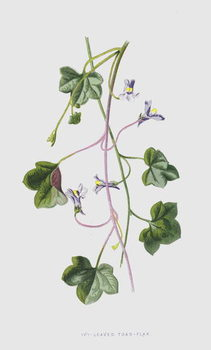 Ivy-Leaved Toad-Flax - Stampe d'arte