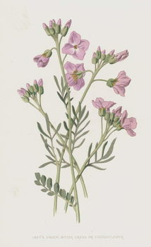 Lady's Smock, Bitter Cress, or Cuckooflower - Stampe d'arte