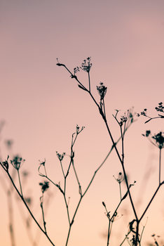 Fotografia d'arte Dried plants on a pink sunset