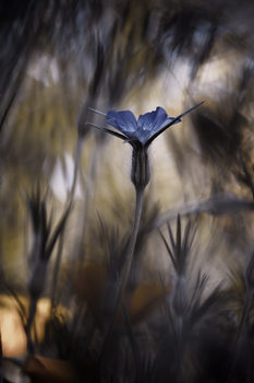 Fotografia d'arte The Blue Crown