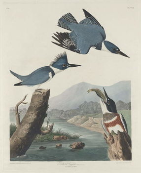 Belted Kingsfisher, 1830 Reproducere
