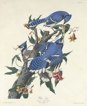 Blue Jay, 1831 Reproducere
