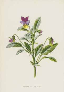 Heart's Ease, or Pansy Reproducere