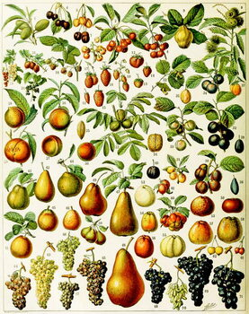 Illustration of  fruit c.1923 Reproducere